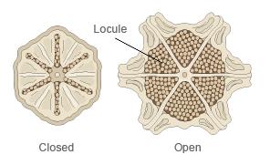 Lithops living stone morphologi
