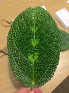 daun gatal obat tradisional papua