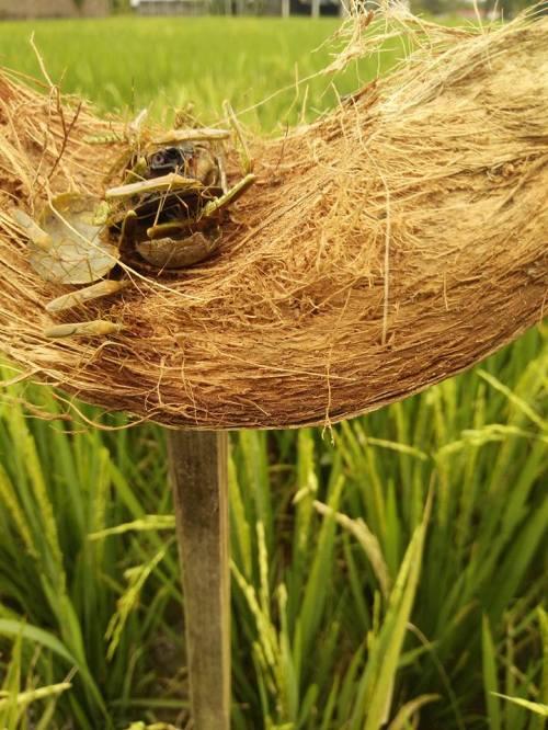 umpan serangga alami
