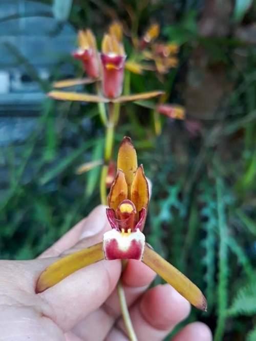 Cymbidium finlaysonianum, Anggrek Spesies
