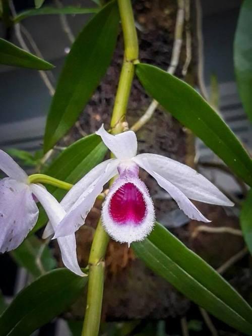 Dendrobium anosmum var. semi alba