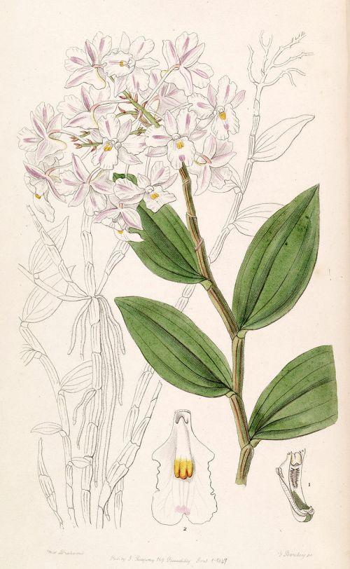 Dendrobium mutabile (Blume) Lindl. 1830