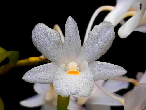 anggres spesies dendrobium gunung salak