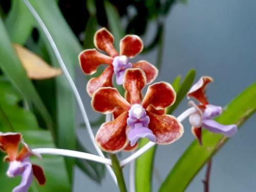 Vanda dari flores (lembata) baunya wangi
