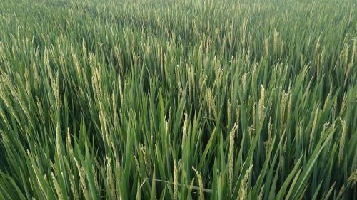 hormon paclobutrazol padi