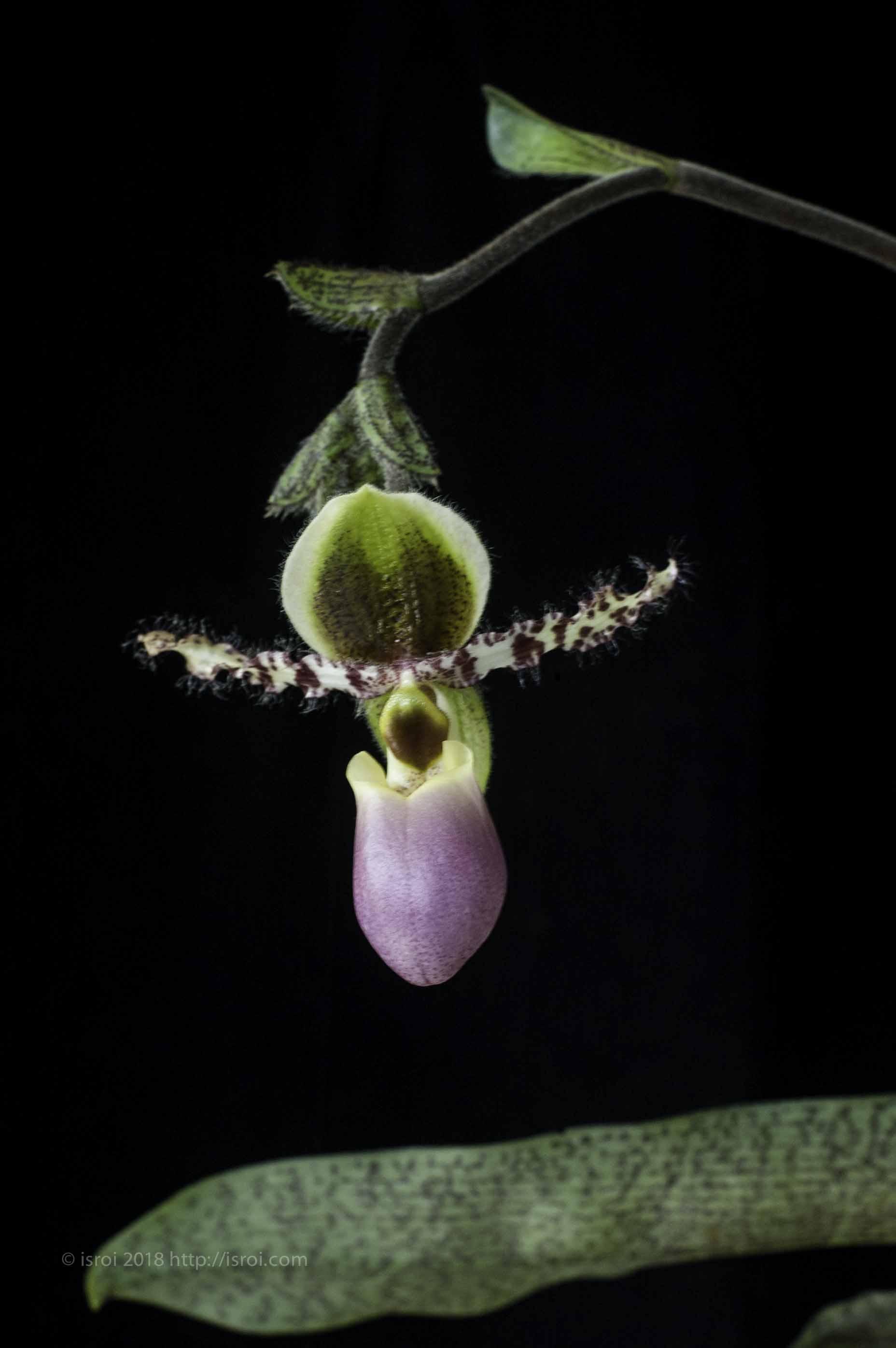 Anggrek kantong spesies asli Indonesia Paphiopedilum dodyanum