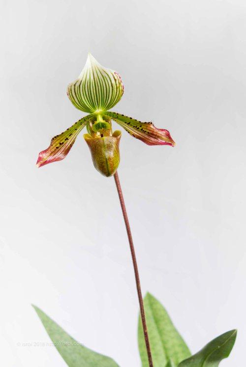 Anggrek kantong spesies Paphiopedilum agusii