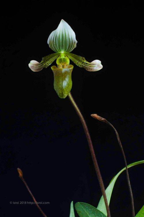 Anggrek kantong spesies Paphiopedilum bacanum