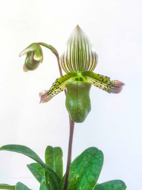 jual Anggrek kantong spesies Paphiopedilum bacanum