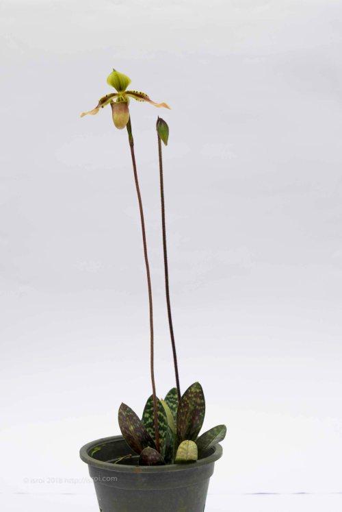 jual Anggrek kantong spesies Paphiopedilum bullenianum