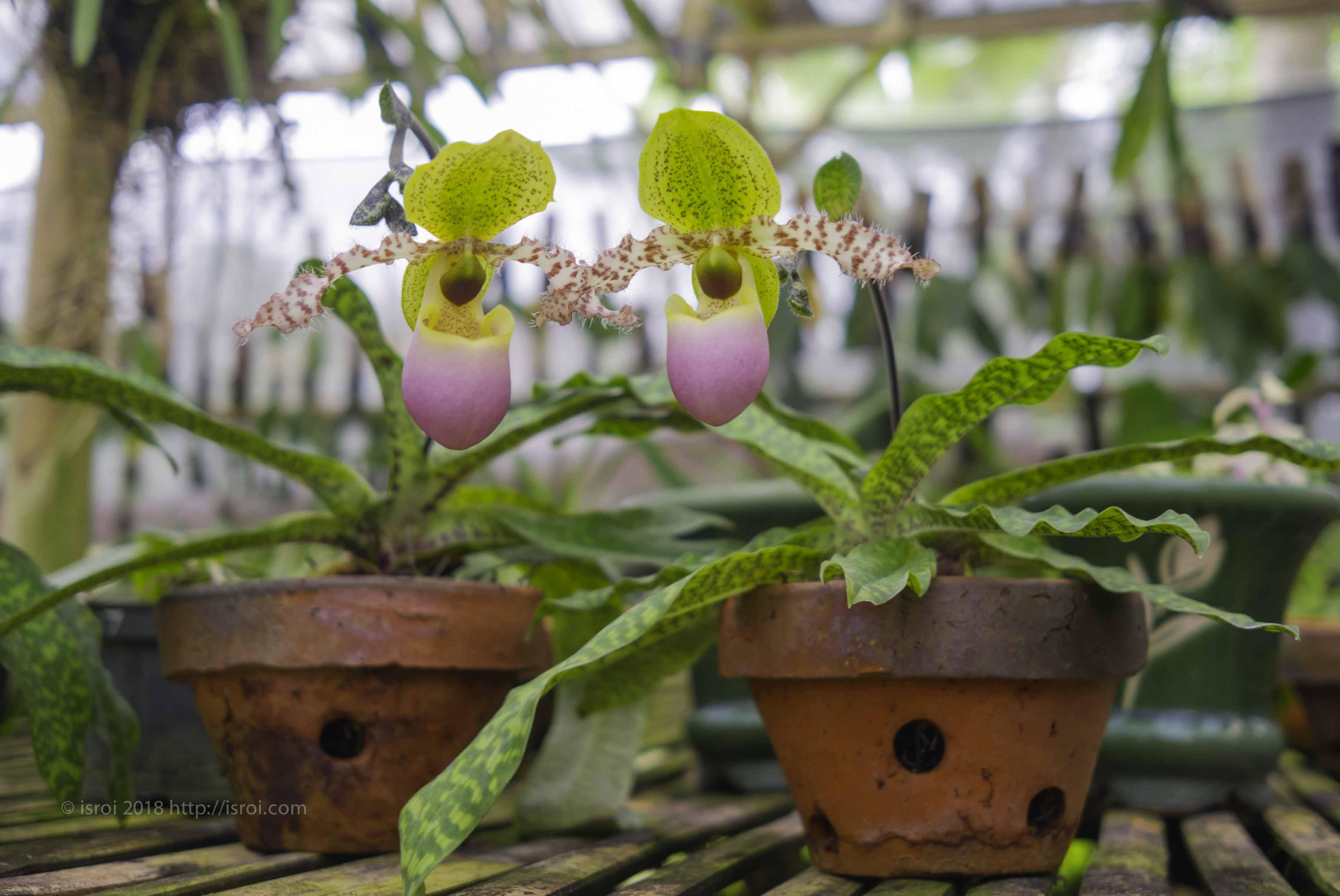 jual Anggrek kantong spesies Paphiopedilum dodyanum