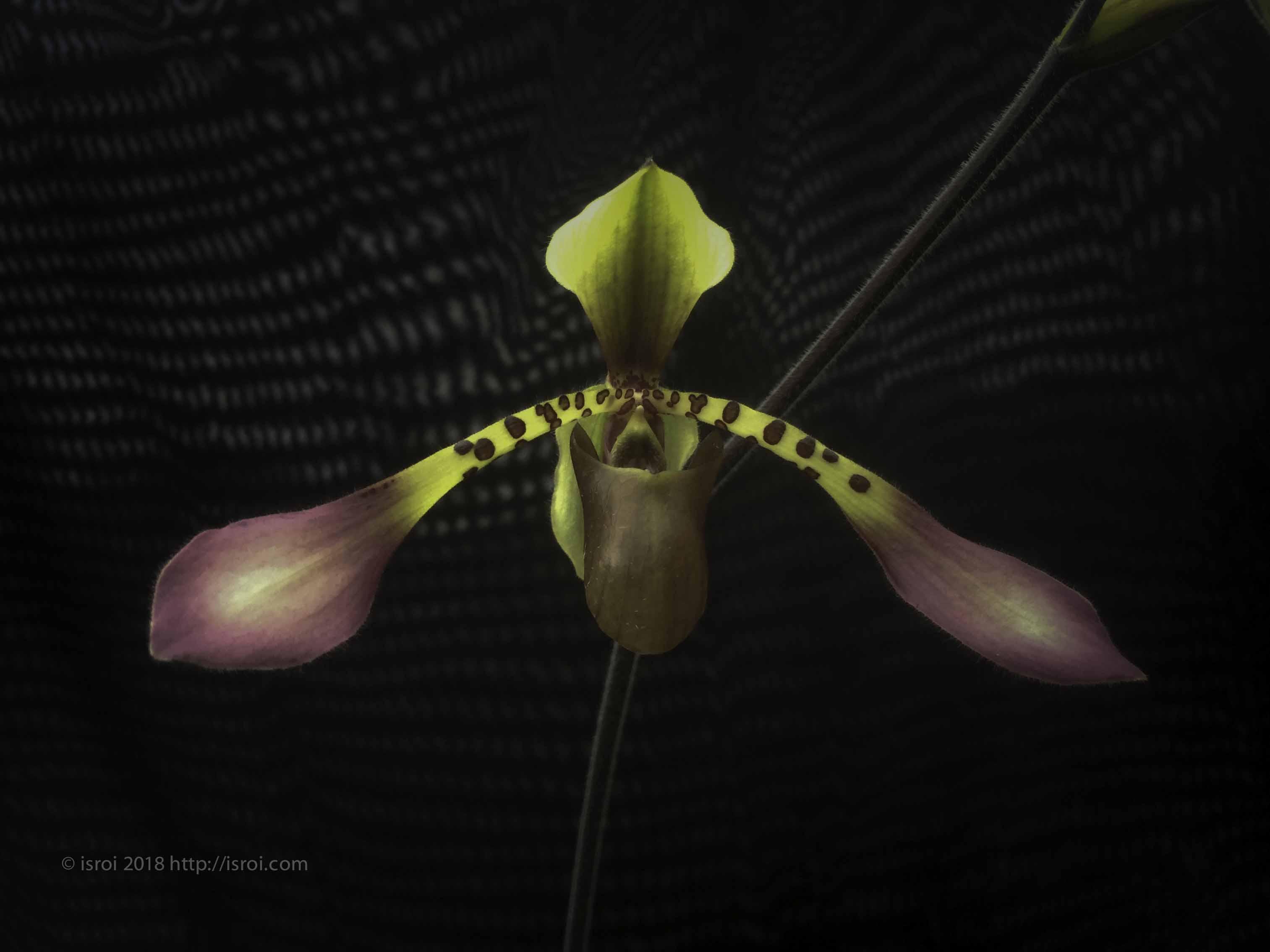 jual Anggrek kantong spesies Paphiopedilum lowii