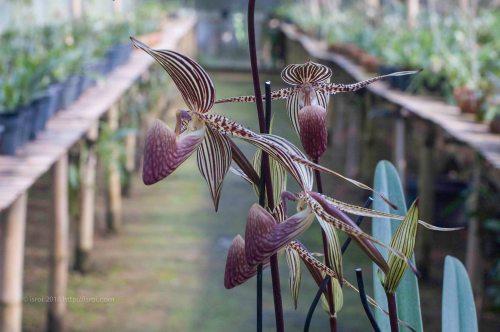 Anggrek kantong spesies asli Indonesia Paphiopedilum rothschildianum