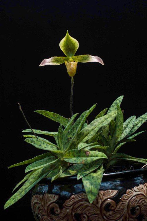 Anggrek kantong spesies paphiopedilum lunatum