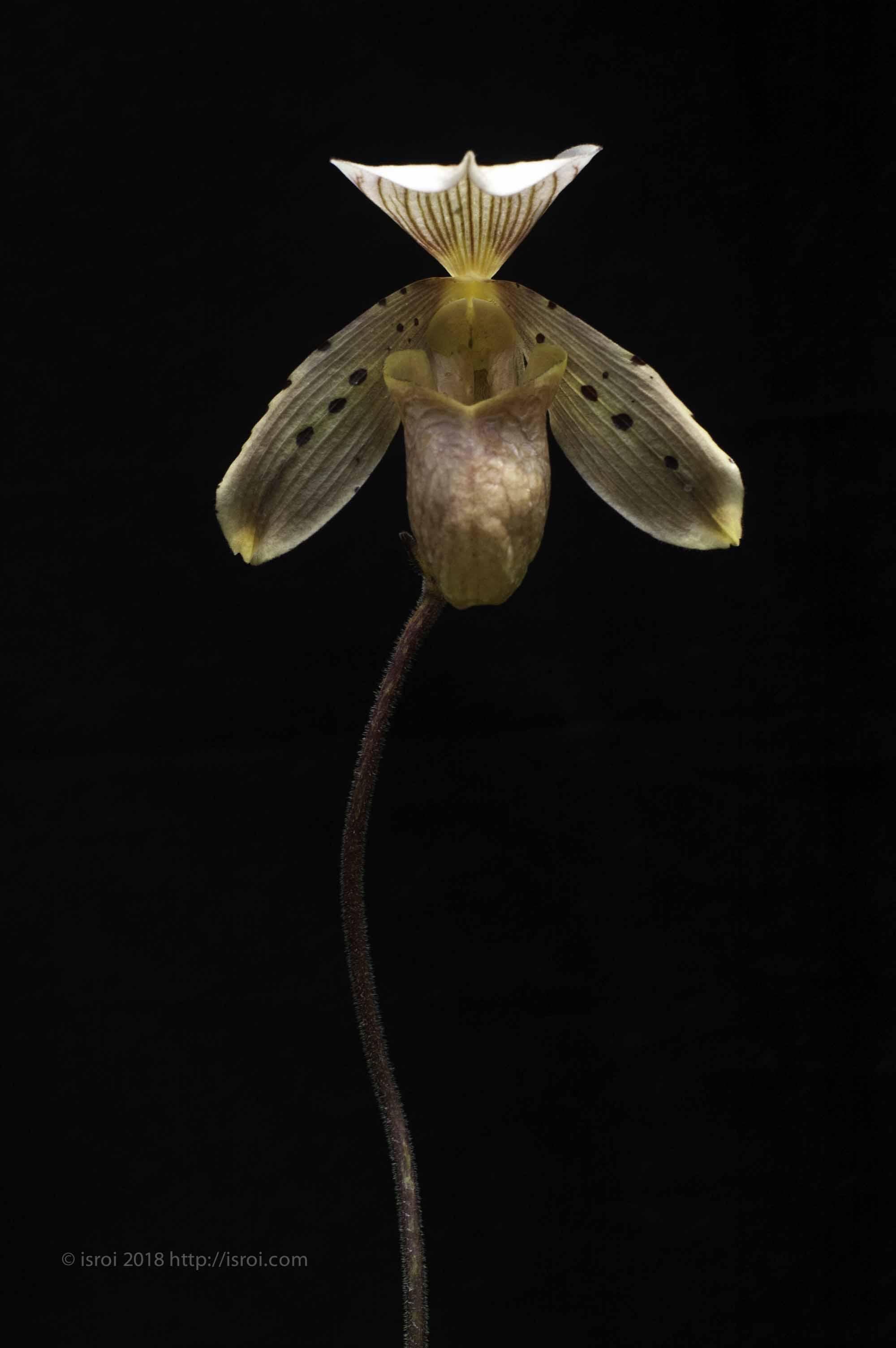 Anggrek kantong spesies Indonesia Paphiopedilum tonsum