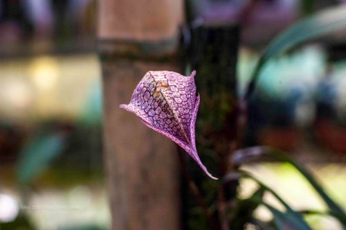 Anggrek spesies Indonesia Bulbophylum arfakianum