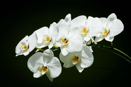 Anggrek bulan Phalaenopsis amabilis