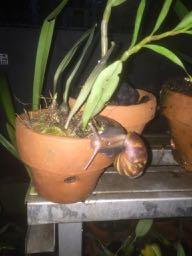 Hama tanaman anggrek siput
