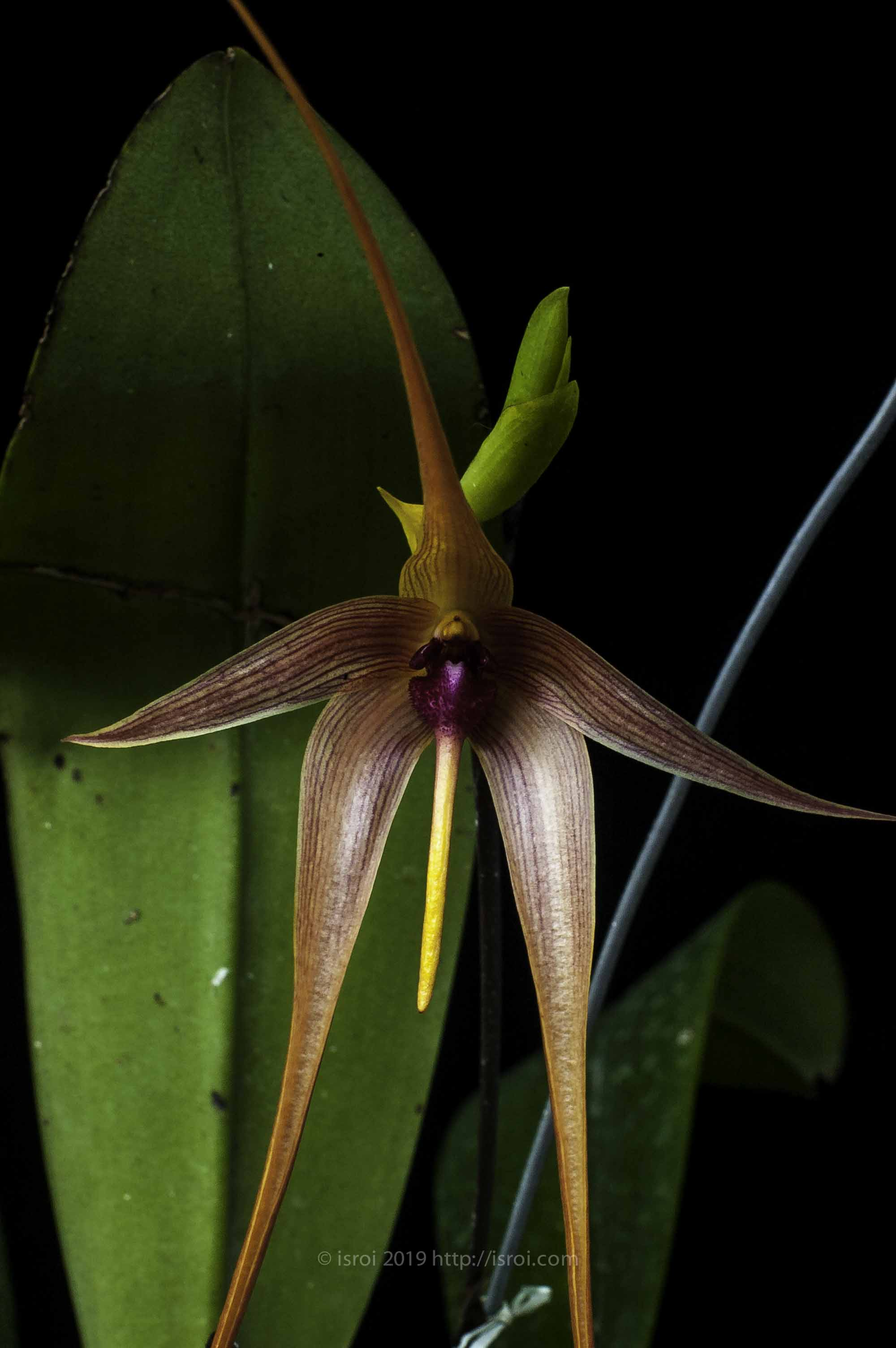 Anggrek spesies Indonesia Bulbophyllum echinolabium dari Maluku