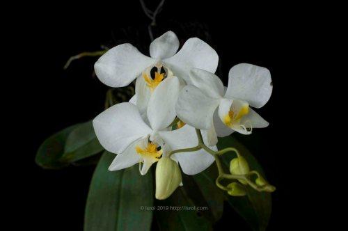 Anggrek bulan spesies Phalaenopsis amabilis