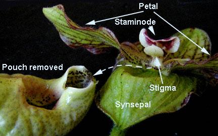 Bagian-bagian bunga anggrek kantong
