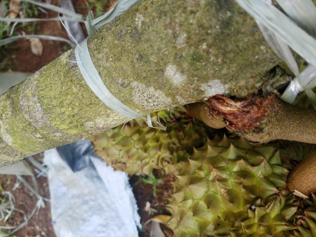 buah durian rontok