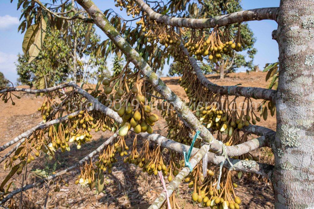 Pohon durian penuh dengan bunga