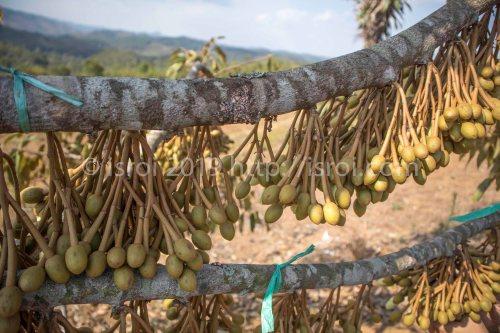 pohon durian penuh bunga