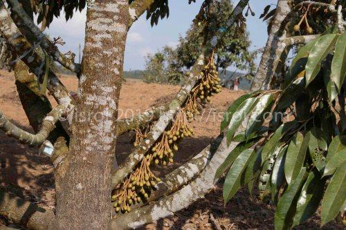 booster bunga durian