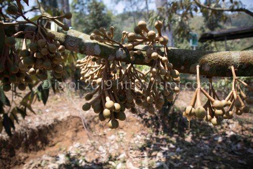 Pohon durian yang berhasil dibooster dengan bunga yang sangat banyak