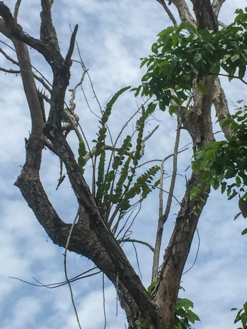 anggrek besi sulawesi dendrobium speudoconanthum
