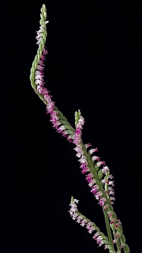 orchids Spiranthes sinensis